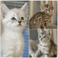 Savannah Cats for sale in Idaho Falls, ID, USA. price: NA