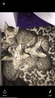 Savannah Cats for sale in Reno, NV, USA. price: NA