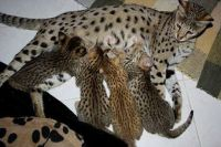 Savannah Cats for sale in Temecula, CA 92591, USA. price: NA