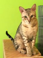Savannah Cats for sale in McMurray, PA, USA. price: NA