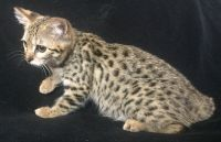 Savannah Cats for sale in New Holland, PA 17557, USA. price: NA