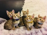 Savannah Cats for sale in Denver, CO, USA. price: NA