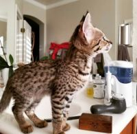 Savannah Cats for sale in Helena, MT, USA. price: NA