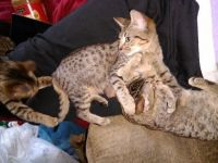 Savannah Cats for sale in Effingham, IL 62401, USA. price: NA
