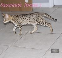 Savannah Cats for sale in Port St. Lucie, FL, USA. price: NA