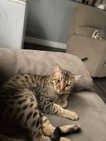 Savannah Cats for sale in Westchester County, NY, USA. price: NA