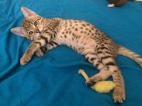 Savannah Cats for sale in Del Rey Oaks, CA 93940, USA. price: NA