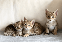 Savannah Cats for sale in Shelby, NC, USA. price: NA