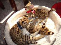 Savannah Cats for sale in Miami Beach, FL, USA. price: NA