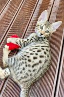 Savannah Cats for sale in Tennessee City, TN 37055, USA. price: NA