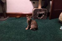 Savannah Cats for sale in Milwaukee, WI, USA. price: NA