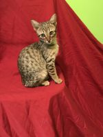Savannah Cats for sale in Pittsburgh, PA, USA. price: NA
