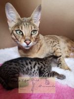 Savannah Cats for sale in New York, NY, USA. price: NA