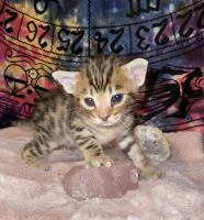 Savannah Cats for sale in Tallahassee, FL, USA. price: NA