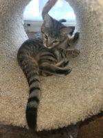 Savannah Cats for sale in Zion Crossroads, VA 22942, USA. price: NA