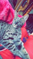 Savannah Cats for sale in King of Prussia, PA, USA. price: NA