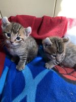 Savannah Cats for sale in Torrance, CA, USA. price: NA