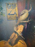 Savannah monitor Reptiles for sale in Bradenton, FL, USA. price: NA