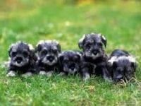 Schnauzer Puppies for sale in San Francisco, CA, USA. price: NA