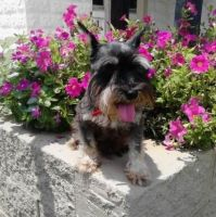 Schnauzer Puppies for sale in Bakersfield, CA, USA. price: NA