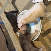 Schnauzer Puppies for sale in Augusta, GA, USA. price: NA