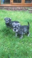 Schnauzer Puppies for sale in Round Rock, TX, USA. price: NA