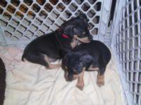Schnauzer Puppies for sale in Birmingham, AL, USA. price: NA