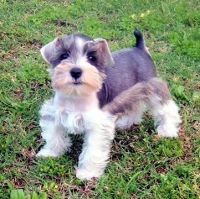 Schnauzer Puppies for sale in Los Angeles, CA, USA. price: NA