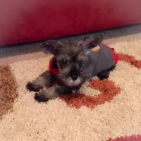 Schnauzer Puppies for sale in Colorado Springs, CO, USA. price: NA