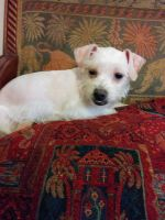 Schnauzer Puppies for sale in Albuquerque, NM, USA. price: NA