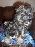 Schnauzer Puppies for sale in Houston, TX, USA. price: NA