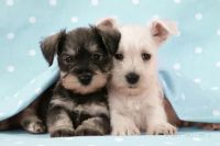 Schnauzer Puppies for sale in Madison, WI, USA. price: NA