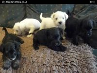 Schnauzer Puppies for sale in Augusta, ME 04330, USA. price: NA
