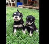 Schnauzer Puppies for sale in Oklahoma City, OK, USA. price: NA