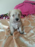 Schnauzer Puppies for sale in . price: NA