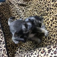 Schnauzer Puppies Photos