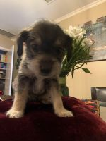 Schnauzer Puppies for sale in Camarillo, CA 93010, USA. price: NA
