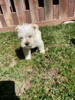 Schnauzer Puppies for sale in Winnetka, Los Angeles, CA, USA. price: NA
