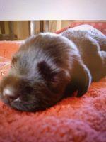 Schnauzer Puppies Photos