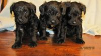 Schnoodle Puppies for sale in Union Bridge, MD 21791, USA. price: NA
