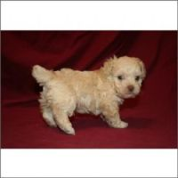 Schnoodle Puppies for sale in Miami, FL, USA. price: NA