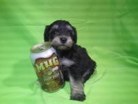 Schnoodle Puppies for sale in Chandler, AZ, USA. price: NA