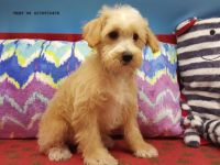 Schnoodle Puppies for sale in Sacramento, CA, USA. price: NA
