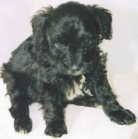 Schnoodle Puppies for sale in Siesta Key, FL 34242, USA. price: NA