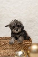 Schnoodle Puppies for sale in Millersburg, OH 44654, USA. price: NA