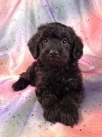 Schnoodle Puppies for sale in Ashburn, VA, USA. price: NA