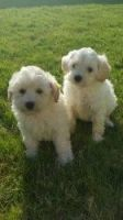 Schnoodle Puppies for sale in Chicago, IL, USA. price: NA