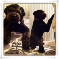Schnoodle Puppies for sale in Chattanooga, TN, USA. price: NA