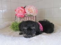 Schnoodle Puppies for sale in Canton, OH, USA. price: NA