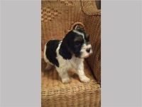 Schnoodle Puppies for sale in Los Angeles, CA, USA. price: NA